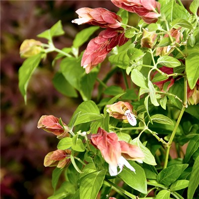Beleperone Guttata (Shrimp Plant) 15cm Pot