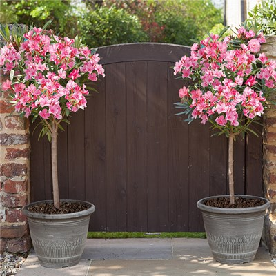 Pair of Pink Standard Oleanders and Silver Wheat Bundle Planters