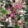Nandina Twilight 2L pot
