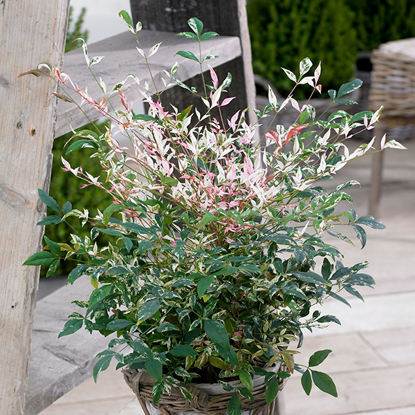 Nandina Domestica 'Twilight' 2L No Colour