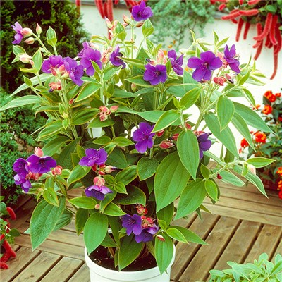 Tibouchina Urvilleana 'Rich Blue' 2L