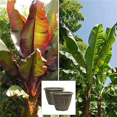 Pair of Architectural Banana plants & Free Art Deco Pots