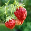 Pair Premium Strawberry Planters (27cm)