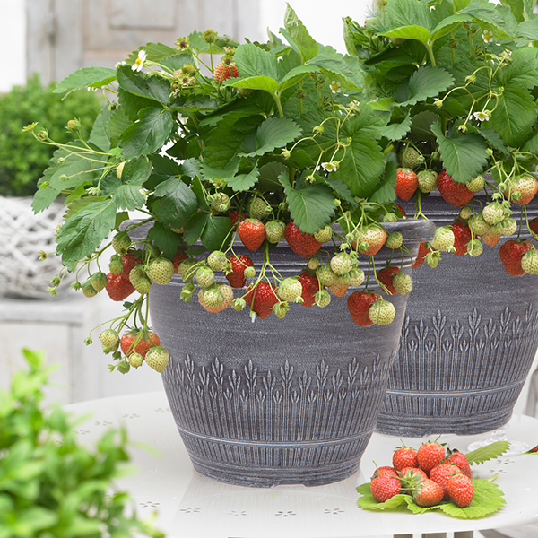 Premium Strawberry Planters 27cm (Pair) No Colour