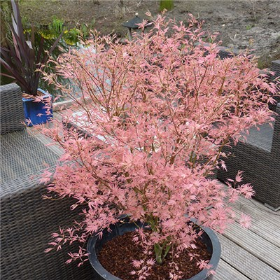 Acer 'Taylor' 3L Pot with Estate Planter