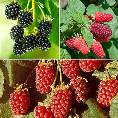Berry Garden Collection - Loganberry, Tayberry & Blackberry in 9cm Pots