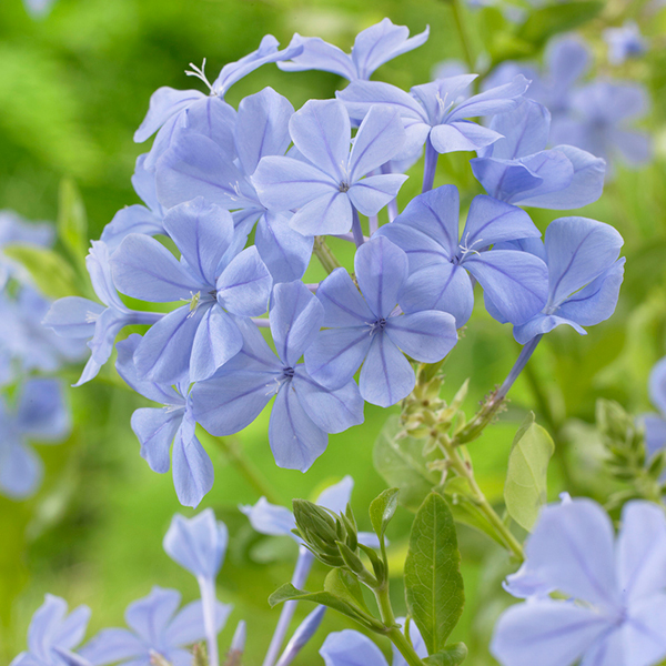 Plumbago 'Capensis Blue' 1.5L No Colour