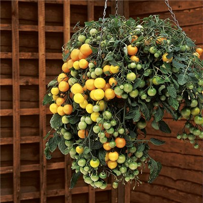 Yellow Tumbling Tom Tomato Kit - 12 plants with 2 FREE Baskets & FREE 50g Fertiliser