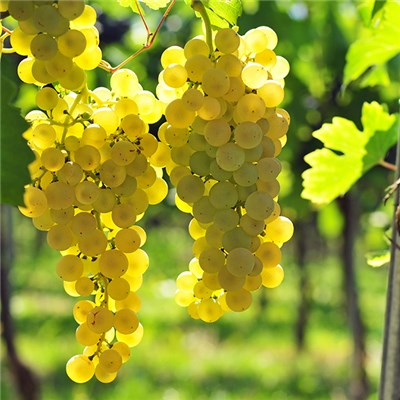 Table Grape White 3L Pot 70-80cm Tall