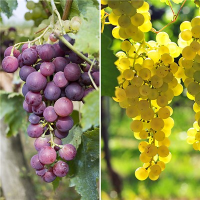 Pair of 3L Red & White Table Grapes 70-80cm