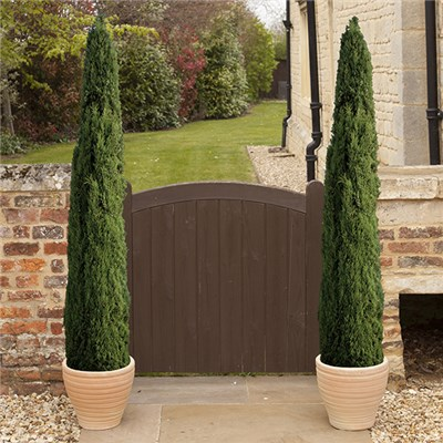Set of 4 Italian Cypress Trees 60-80cm Tall