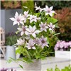 Boulevard Patio Clematis Collection 3 colours in 10.5cm pots
