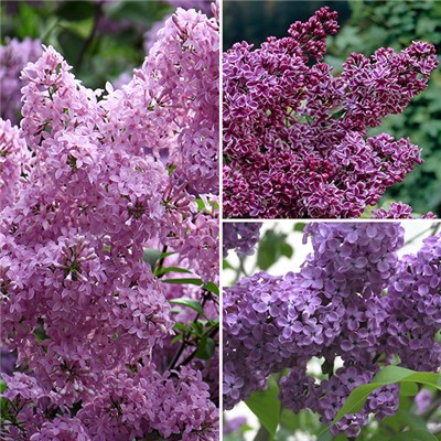 Fragrant French Lilac Collection 3 x 2L Pots