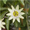 Hardy passion Flower Constance Elliott 3L pot 1.2M