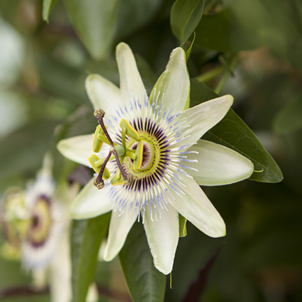 Hardy Passion Flower 'Constance Eliott' 3L Pot No Colour