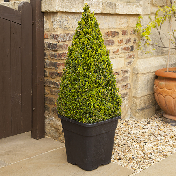 Box Topiary Pyramid 1-1.2m Tall No Colour