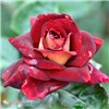 Premium Rose Eddy Mitchell 3L pot