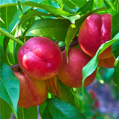 Patio Perfect Nectarine Tree 4L Potted