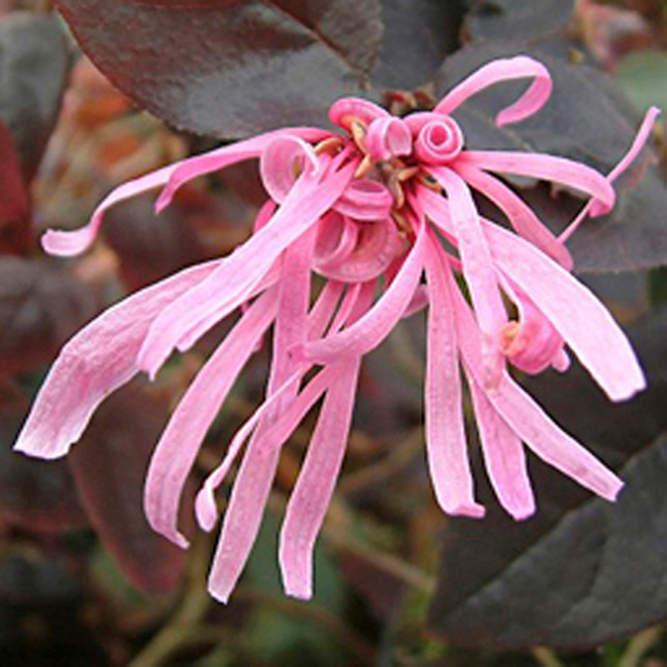 Loropetalum 'Firedance' 90cm Standard 3L Pot No Colour