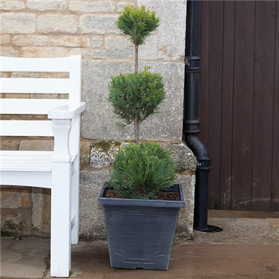 Trio Ball Topiary Cypress Tree 1m Tall 10L Pot