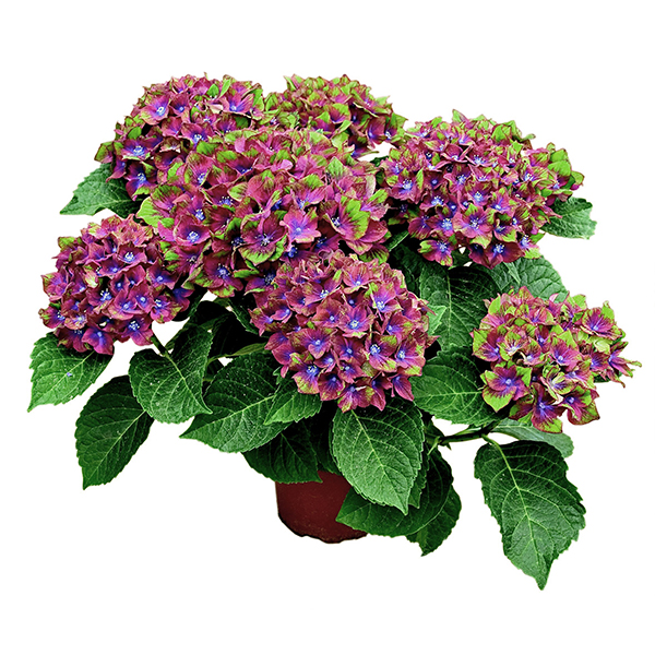 Hydrangea 'Glam Rock' 2L Pot No Colour