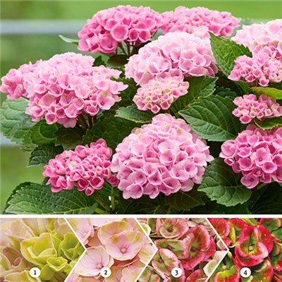 Colour Changing Hydrangea 'Magical Revolution Pink' - 2 Plants in 10.5cm Pots