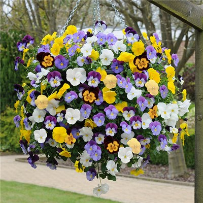 Pair of Pansy 'Cool Wave' Pre-planted Yellow 27cm (11in) Hanging Baskets