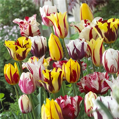 Striped Tulips 'Rembrandt' Bulb Mix (25 Pack)