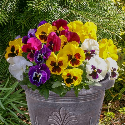 Pansy Matrix Pre-Planted 27cm (11in) Metallic Planters (Pair)