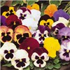Pair of Pansy Matrix pre-planted 9 inch metallic planters