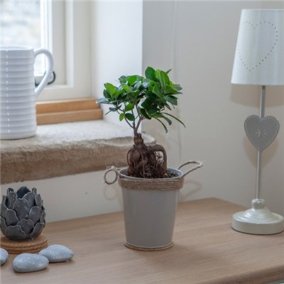 Easy Care Houseplant Ficus Ginseng in 13cm Zinc Pot