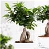 Easy Care Houseplant - Ficus Ginseng in 13cm zinc pot