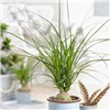 Easy Care Houseplant - Beaucarnea recurvata in 13cm zinc pot (Ponytail Palm)