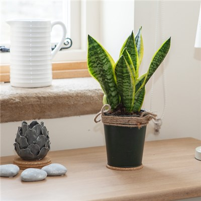 Easy Care Houseplant - Sansevieria in 13cm Zinc Pot
