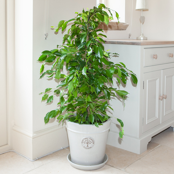 Ficus Benjamanica Exotica 21cm Pot 90cm No Colour