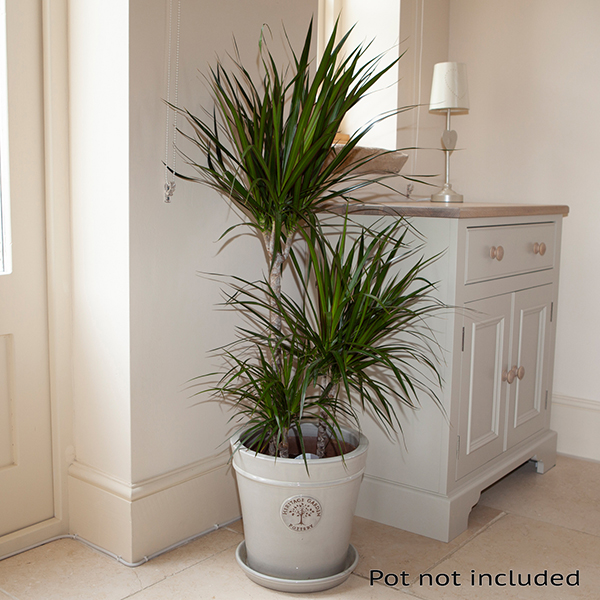 Dracaena Marginata 3 Stem 60/30/15cm in 24cm Pot 1.3m Tall No Colour