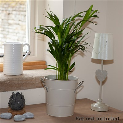 Areca Palm 'Butterfly Palm' 14cm Pot 60cm Tall
