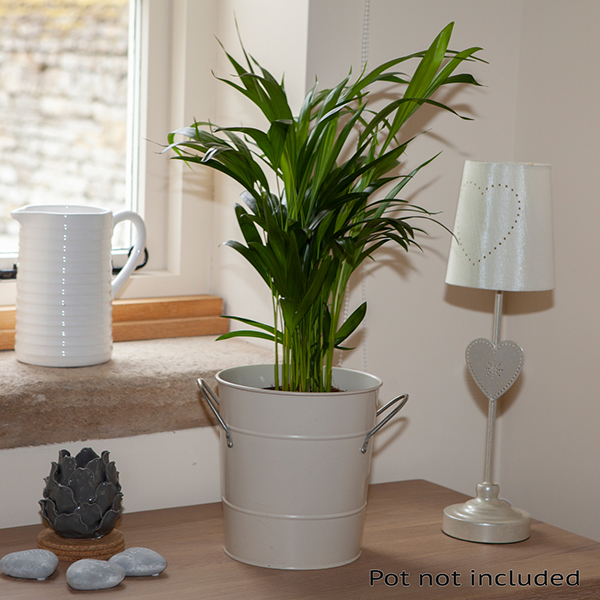 Areca Palm 'Butterfly Palm' 14cm Pot 60cm Tall No Colour