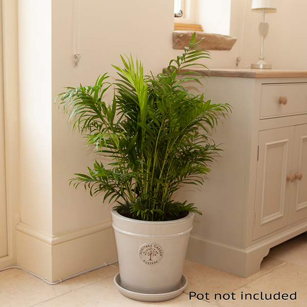Areca Palm 'Butterfly Palm' 24cm Pot 1.2m Tall No Colour