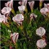 Oxalis Versicolour x 10 Bulbs