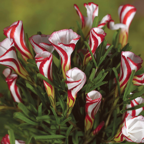 Oxalis Versicolour Bulbs (10 Pack) No Colour