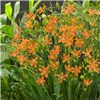 Belamcanda Chinensis Hardy Leopard Lily