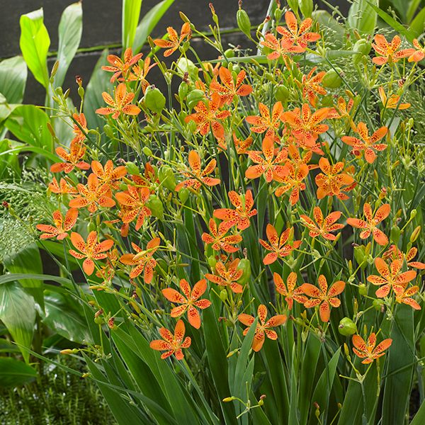 Belamcanda Chinensis 'Hardy Leopard Lily' 15cm Pot No Colour