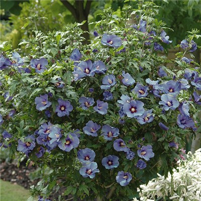 Hibiscus 'Marina Blue' Standard 1.2m Potted in Bud