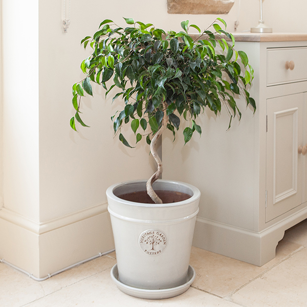 Ficus Danielle Spiral 20cm Pot No Colour