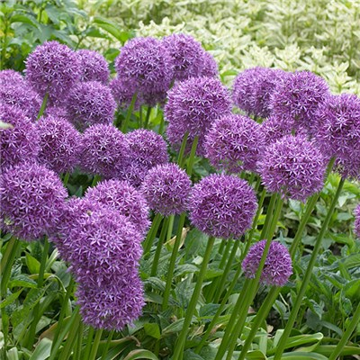 Allium 'Violet Beauty' x 50 Bulbs