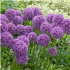 Allium Violet Beauty x 50 Bulbs