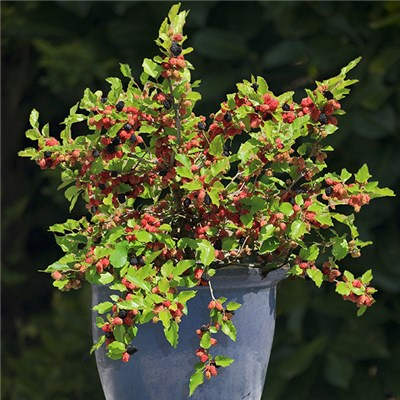 Patio Mulberry 'Mojoberry' 2L Pot
