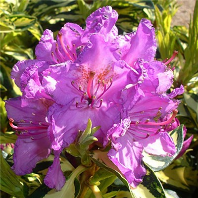 Rhododendron 'Molten Gold' 2L