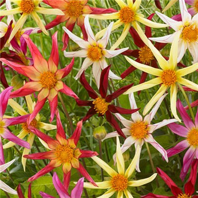 Dahlia 'Honka Starburst' Mix (5 Pack)